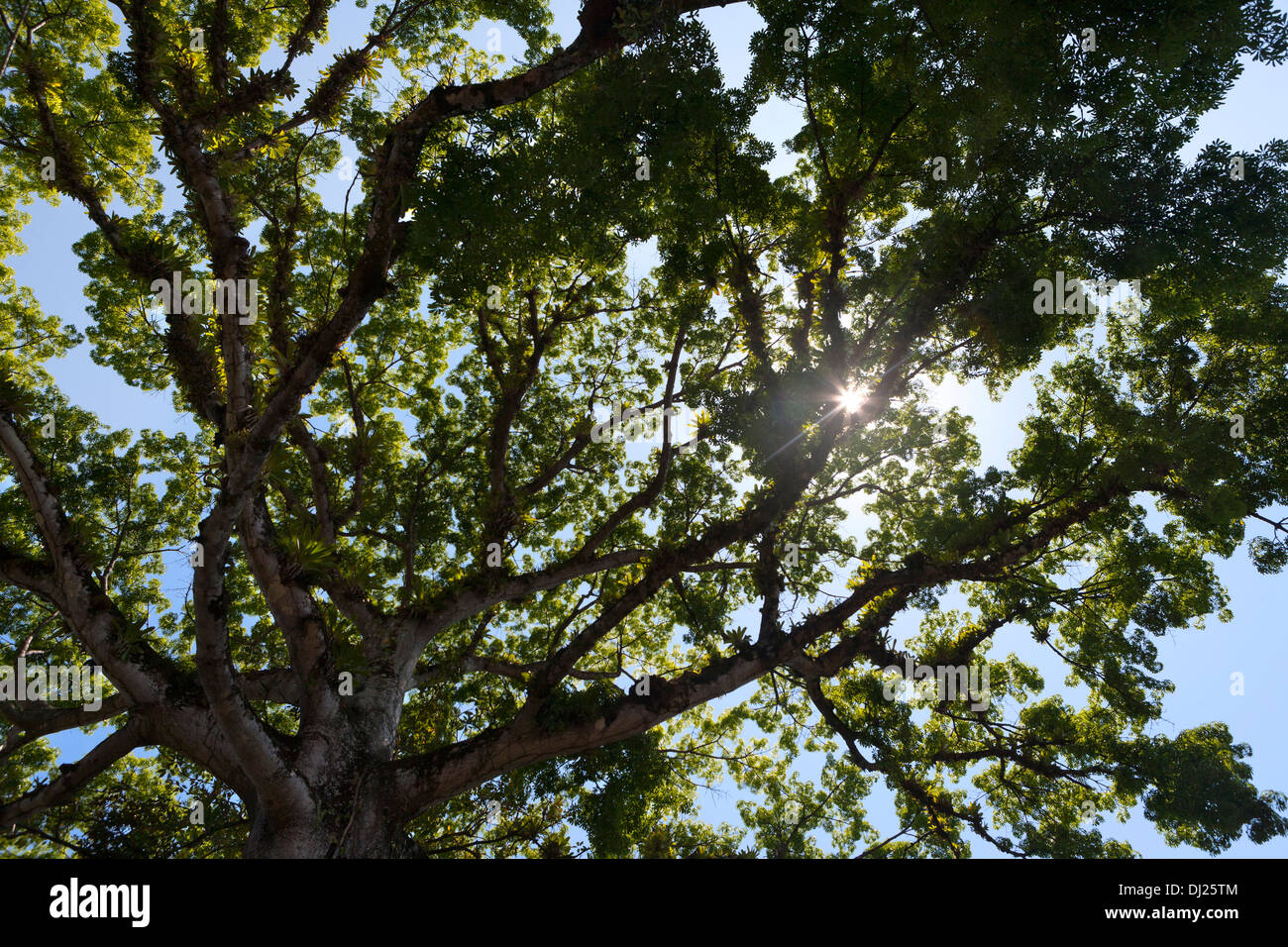 Large tropical mahogany tree in Costa Rica with sun shining through. - Stock Image