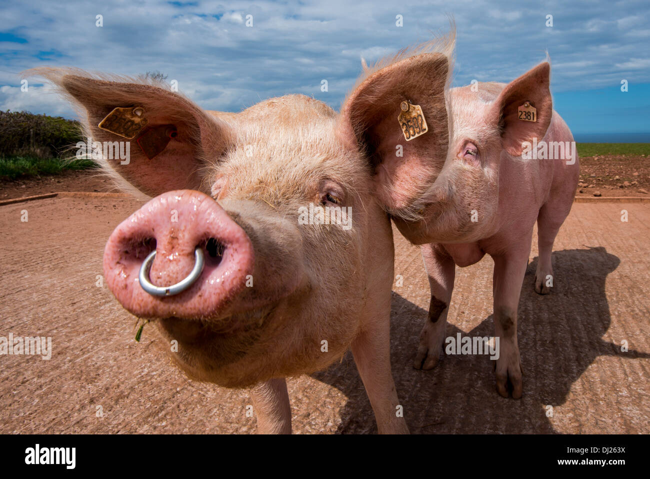 Pig Nose Ring High Resolution Stock Photography And Images Alamy