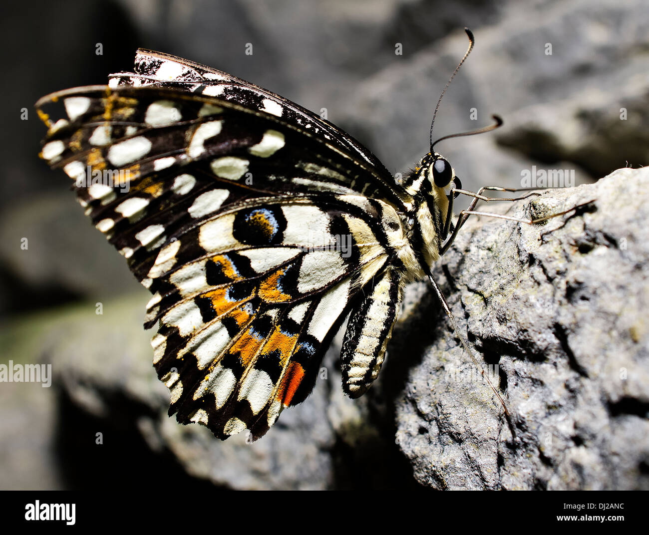 Butterfly perched on rock - Stock Image