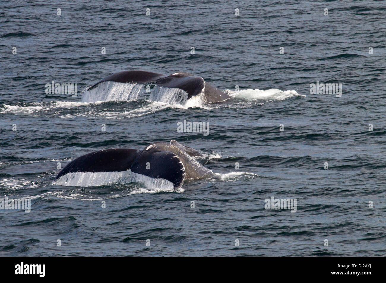 Pair of Humpback Whales (Megaptera novaeangliae) Diving simultanoeusly - Stock Image