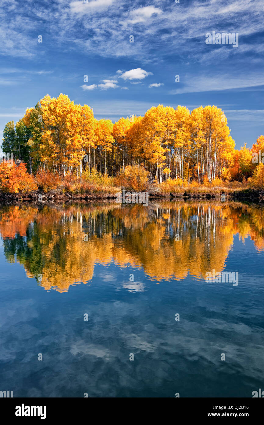 Reflecting grove of autumn gold aspen trees along central Oregon's Deschutes River and the Deschutes National Forest. - Stock Image