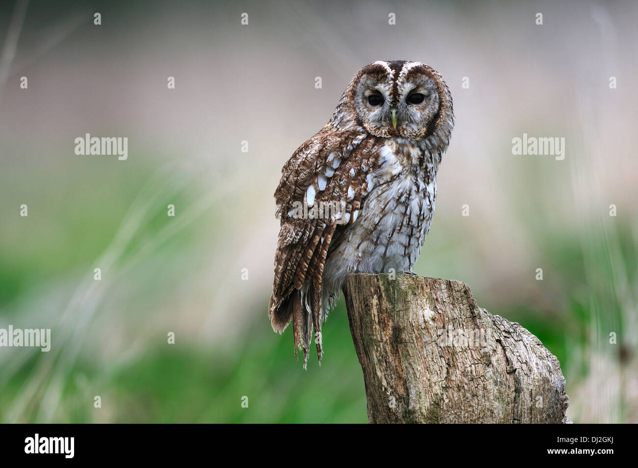 A tawny owl perched on a tree stump UK - Stock Image