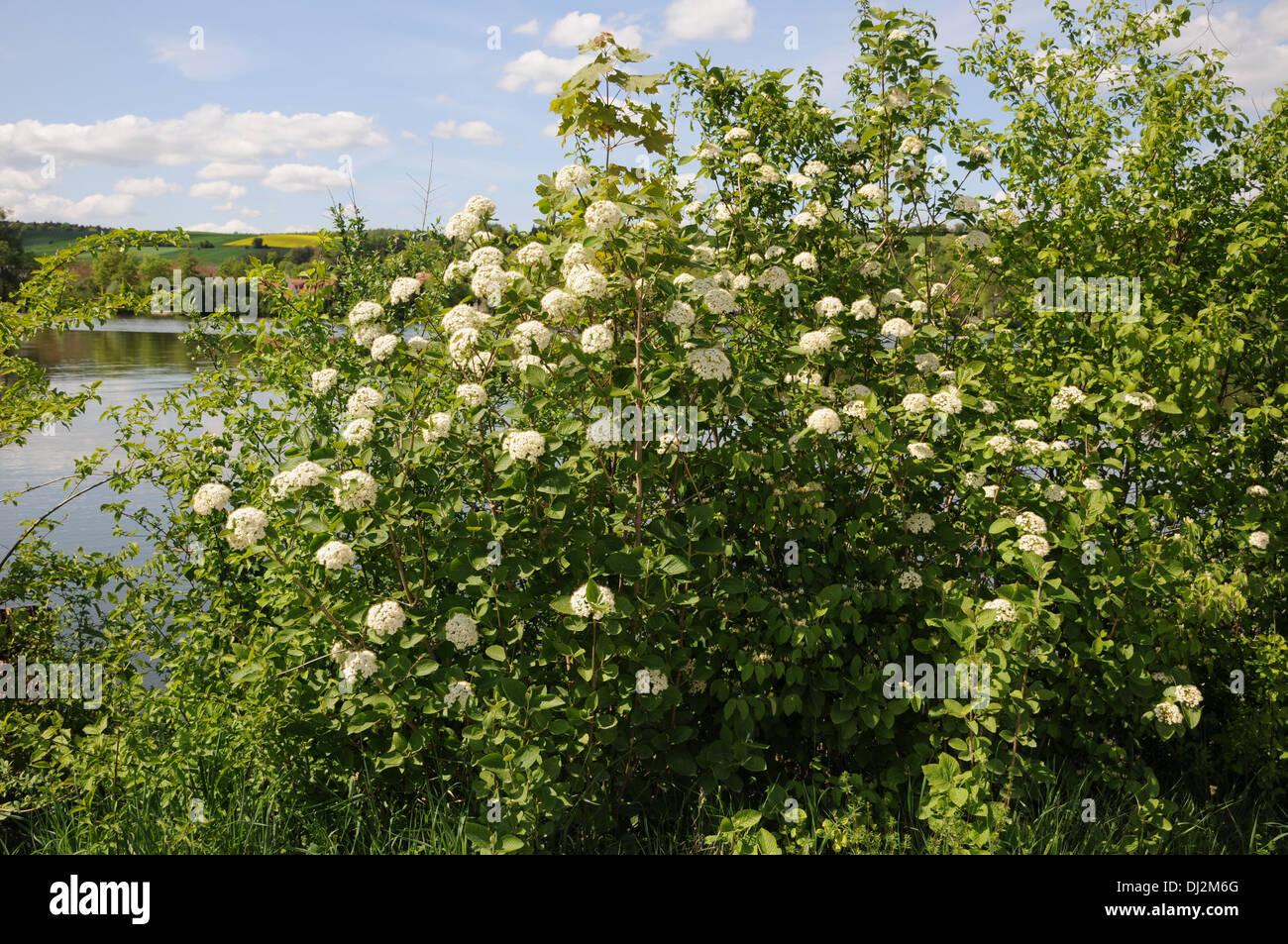 Viburnum lantana - Stock Image
