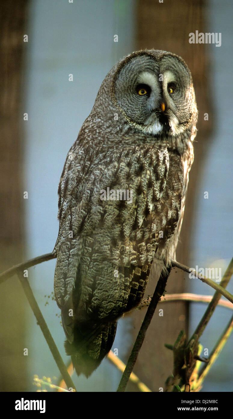 Bartkauz (Strix nebulosa), Great Grey Owl or Great Gray Owl (Strix nebulosa) - Stock Image