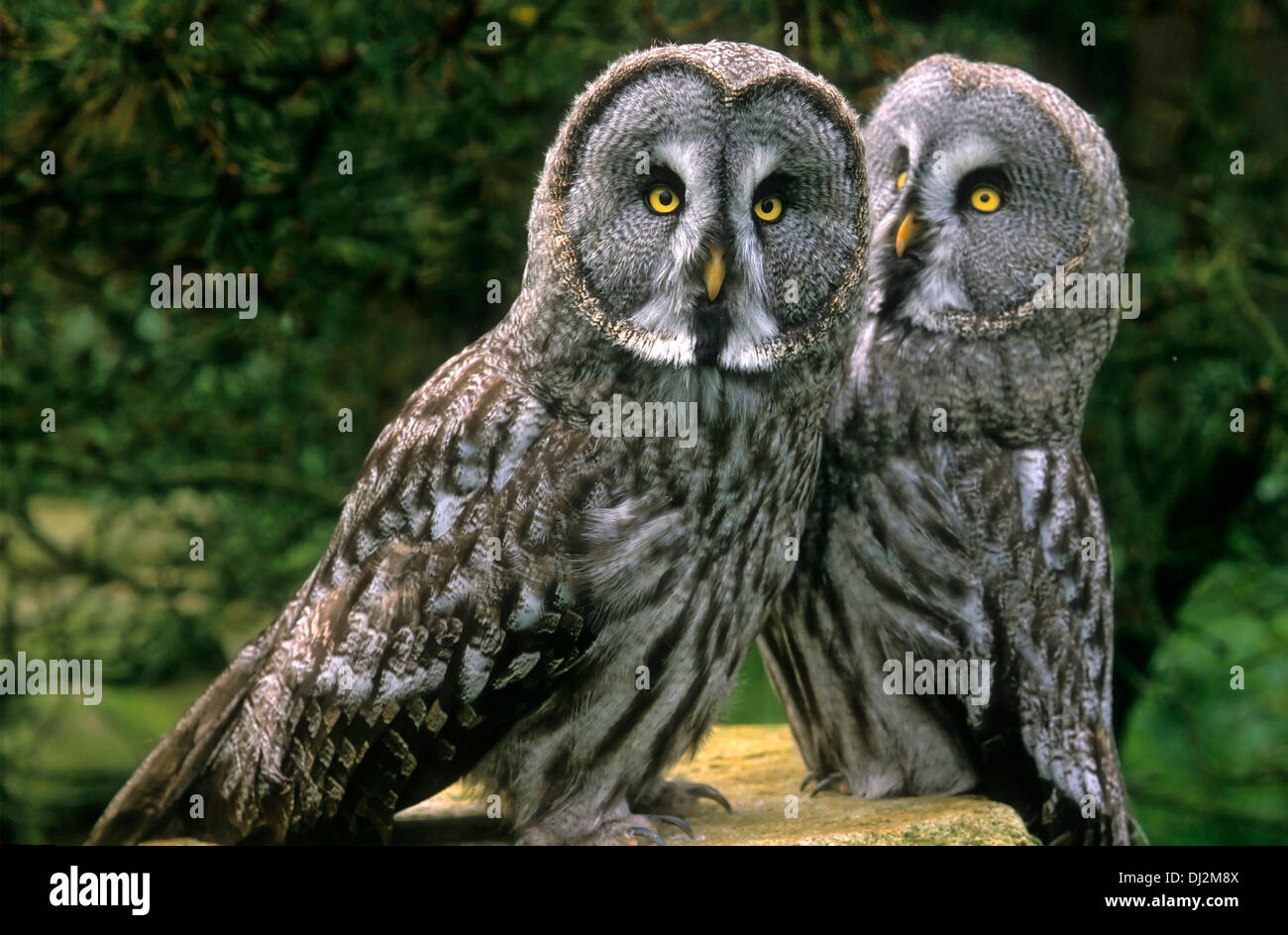 Bartkauz (Strix nebulosa), Great Grey Owl or Great Gray Owl (Strix nebulosa), Paar - Stock Image