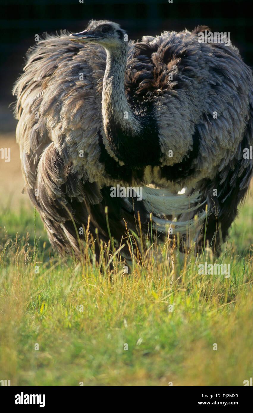 Nandu (Rhea americana), Greater Rhea (Rhea americana) - Stock Image
