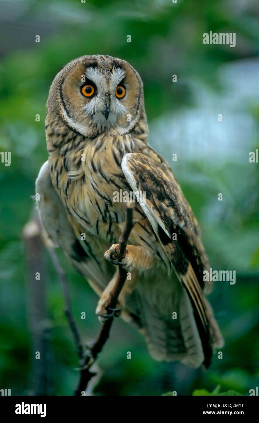 Waldohreule (Asio otus), Long-eared Owl - Asio otus (Strix otus) - Stock Image