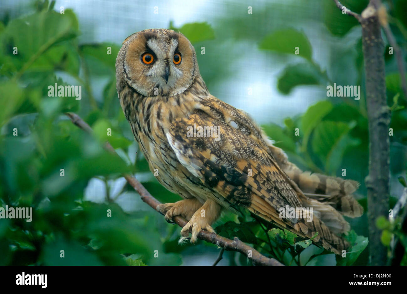 Waldohreule (Asio otus), Long-eared Owl - Asio otus (Strix otus) Stock Photo