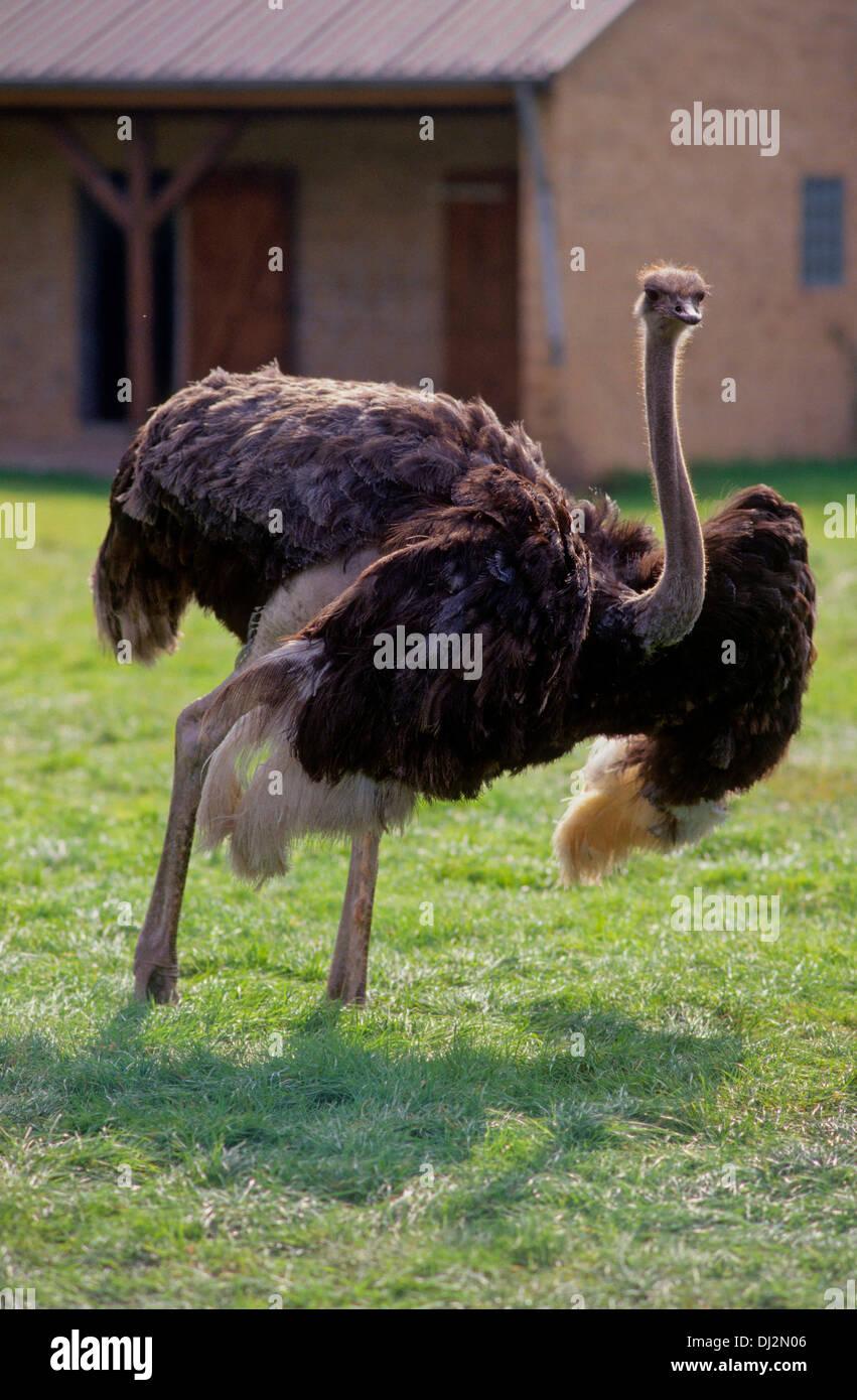 Afrikanischer Strauß (Struthio camelus), Common Ostrich (Struthio camelus) - Stock Image