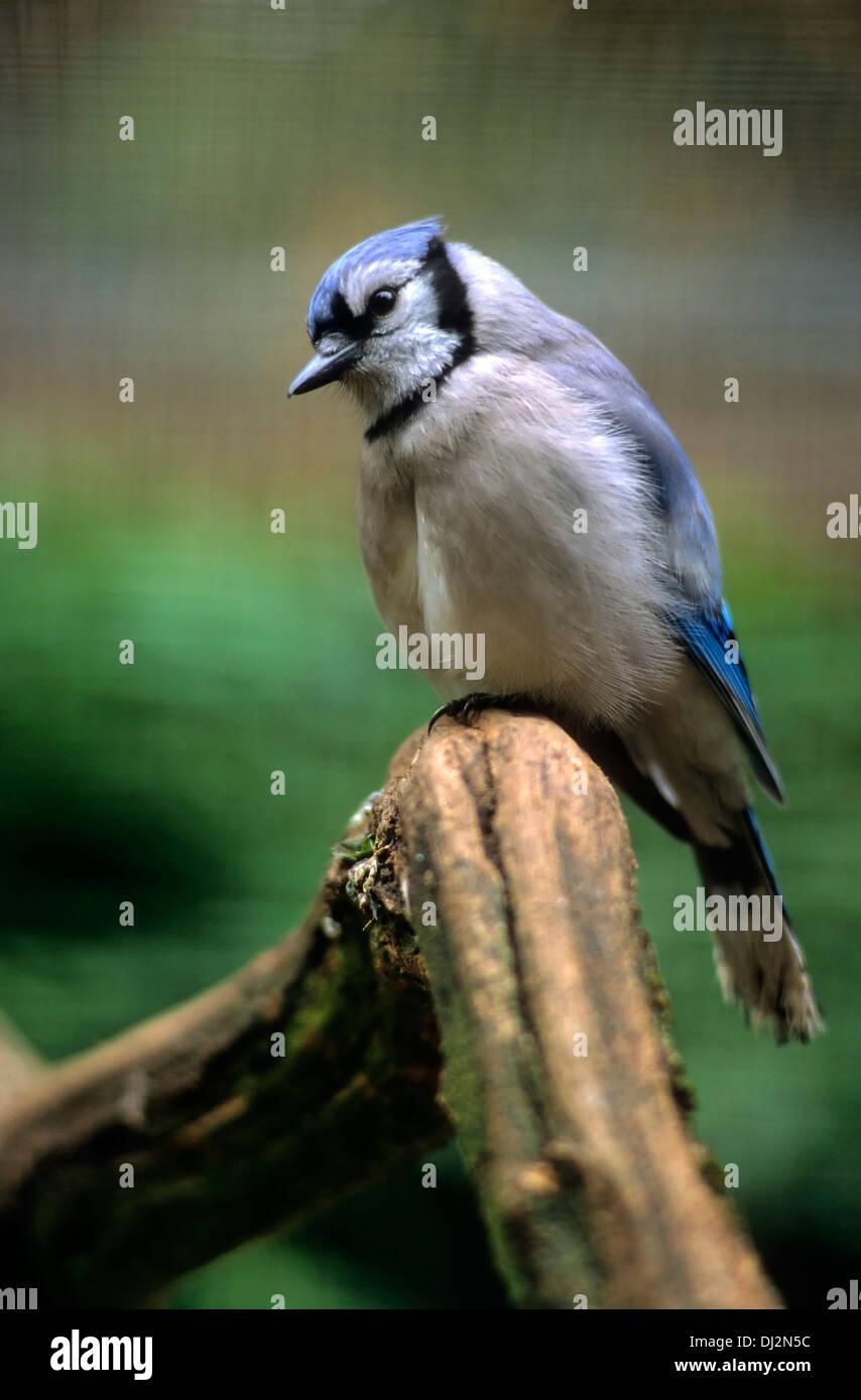 Blauhäher (Cyanocitta cristata), Blue Jay (Cyanocitta cristata) Stock Photo