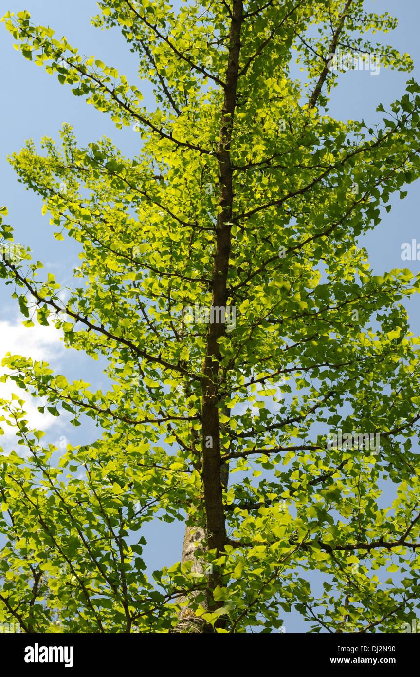 Maidenhair tree - Stock Image