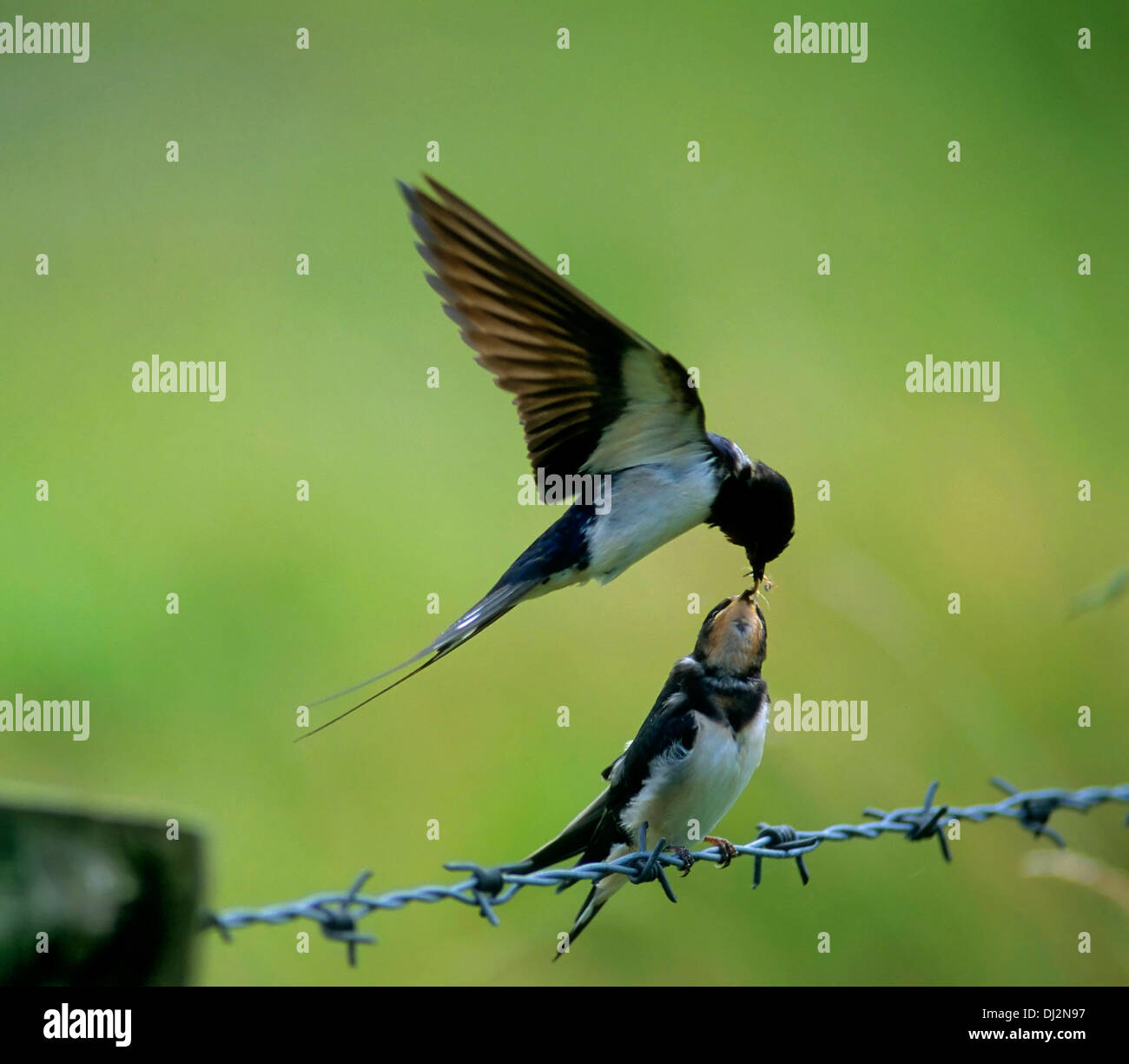Barn Swallow (Hirundo rustica), Rauchschwalbe (Hirundo rustica) Stock Photo