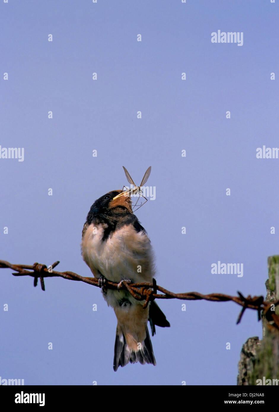 Barn Swallow (Hirundo rustica), Rauchschwalbe (Hirundo rustica) Stock Photo
