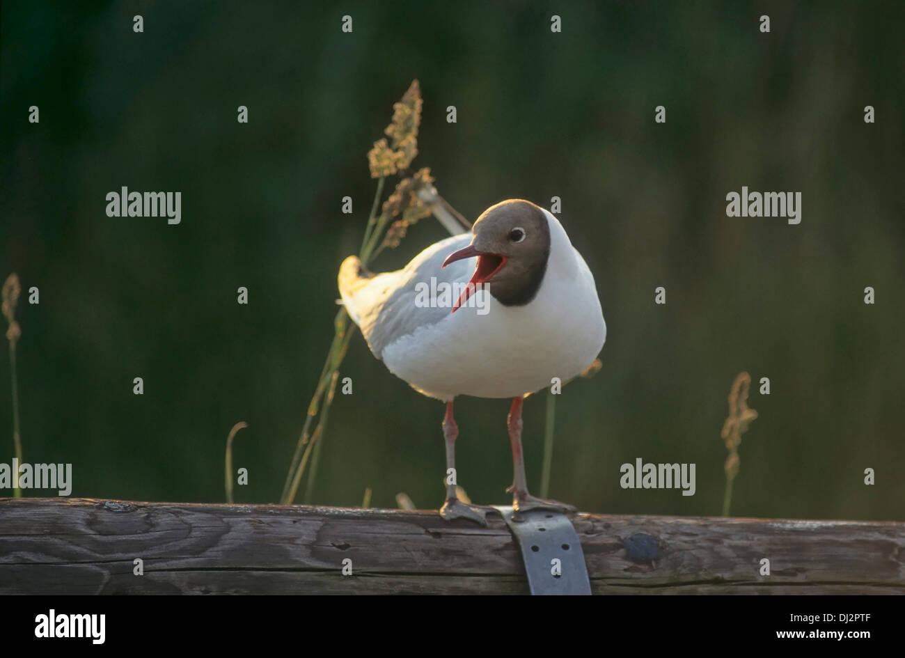 Black-headed Gull, Lachmöwe (Chroicocephalus ridibundus) - Stock Image