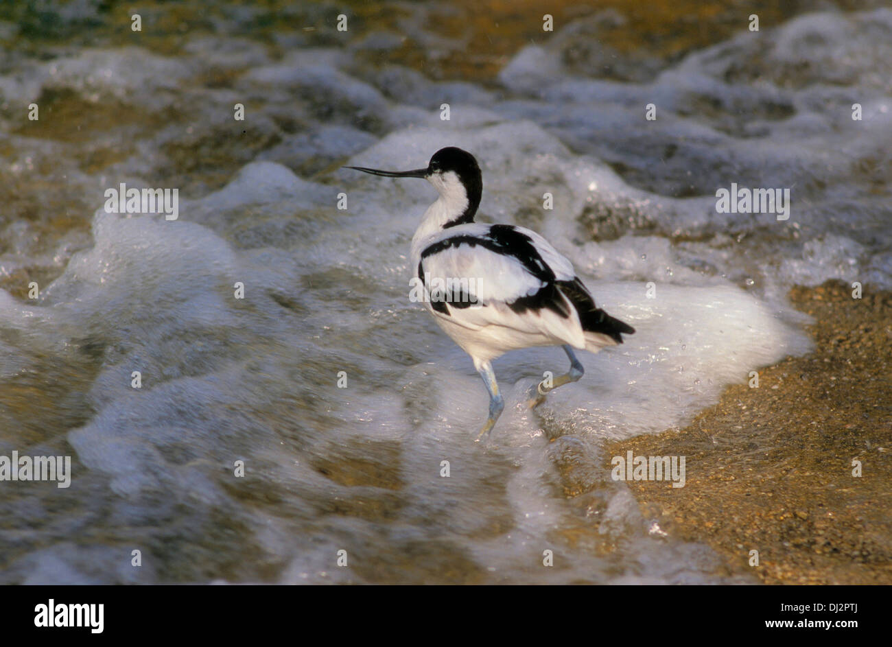 Pied Avocet, Recurvirostra avosetta, Black-capped Avocet, Eurasian Avocet, Säbelschnäbler (Recurvirostra avosetta) - Stock Image