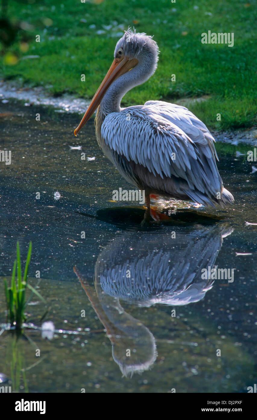 Pink-backed Pelican (Pelecanus rufescens), Rötelpelikan (Pelecanus rufescens) - Stock Image