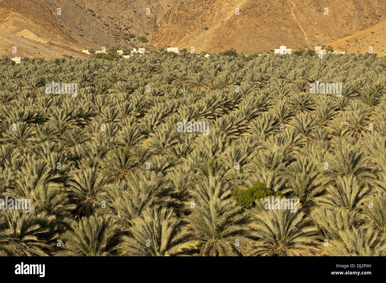 Plantation of date palms, Al Hamra, Oman - Stock Image