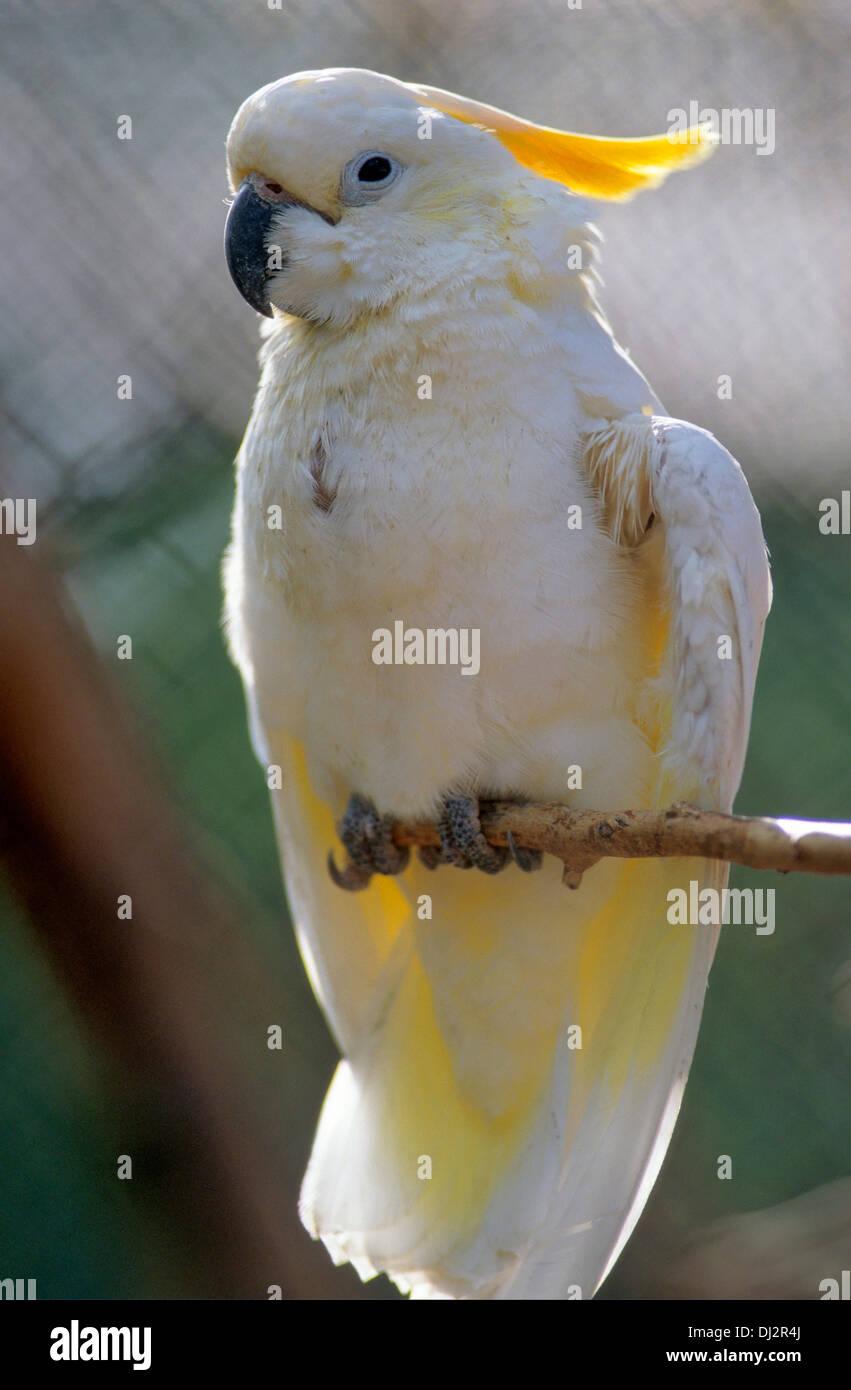 Sulphur-crested Cockatoo (Cacatua galerita), Gelbhaubenkakadu (Cacatua galerita) - Stock Image