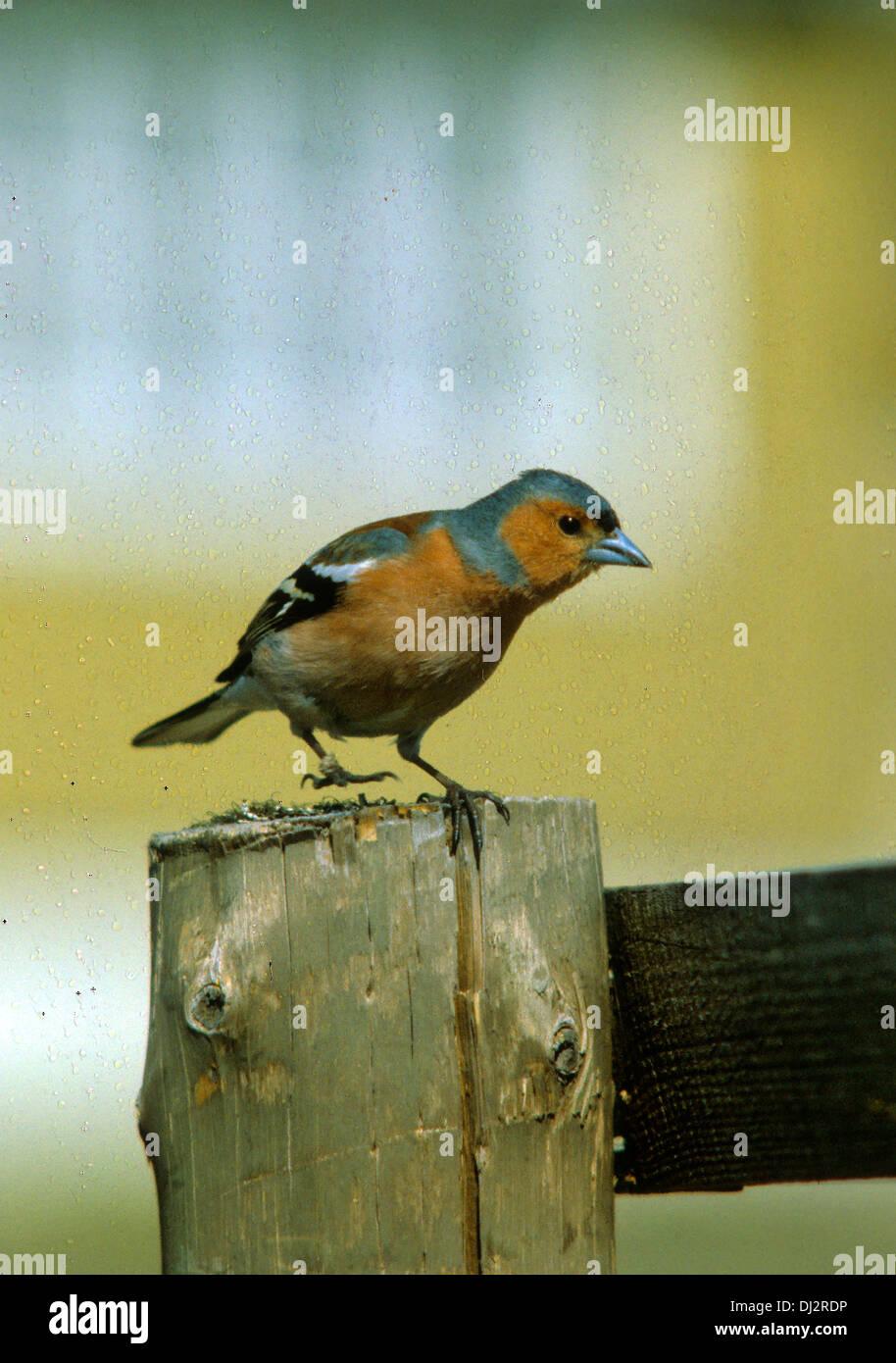 Common Chaffinch (Fringilla coelebs), Chaffinch, Buchfink (Fringilla coelebs) - Stock Image