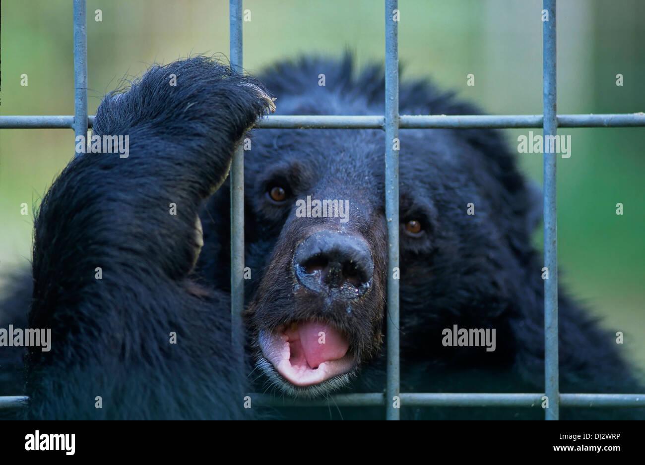 Asian black bear (Ursus thibetanus), moon bear, white-chested bear, Zoo: Kragenbär hinter Gitter, Kragenbär, Asiatischer Schwarz - Stock Image