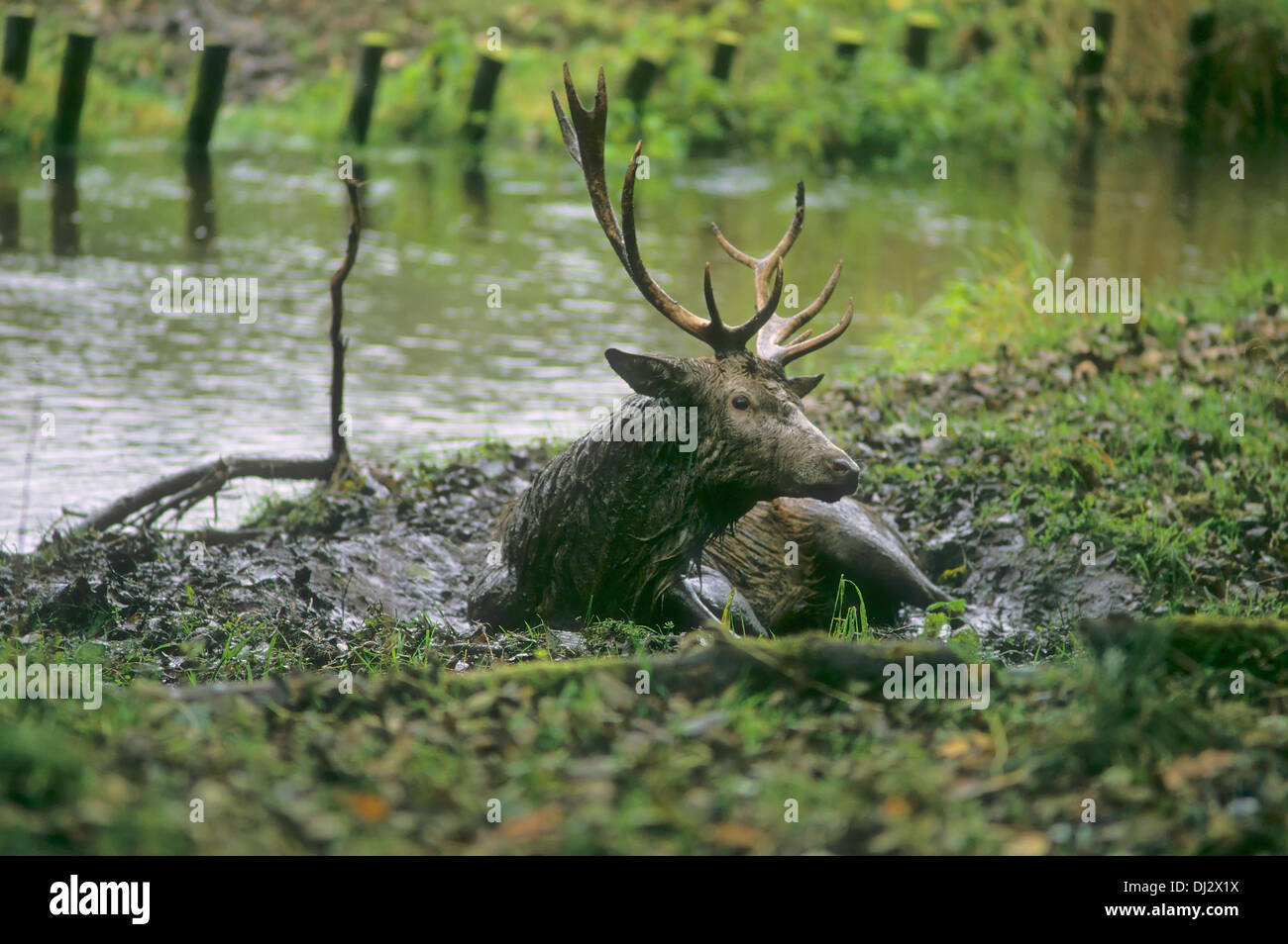 red deer (Cervus elaphus) in the wallow, Rothirsch in der Suhle, Rothirsch (Cervus elaphus) - Stock Image