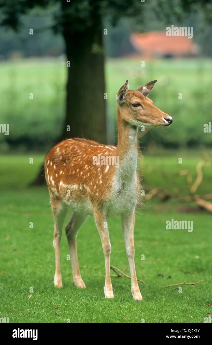 fallow deer (Dama dama), Damwild weiblich, Kalb - Stock Image