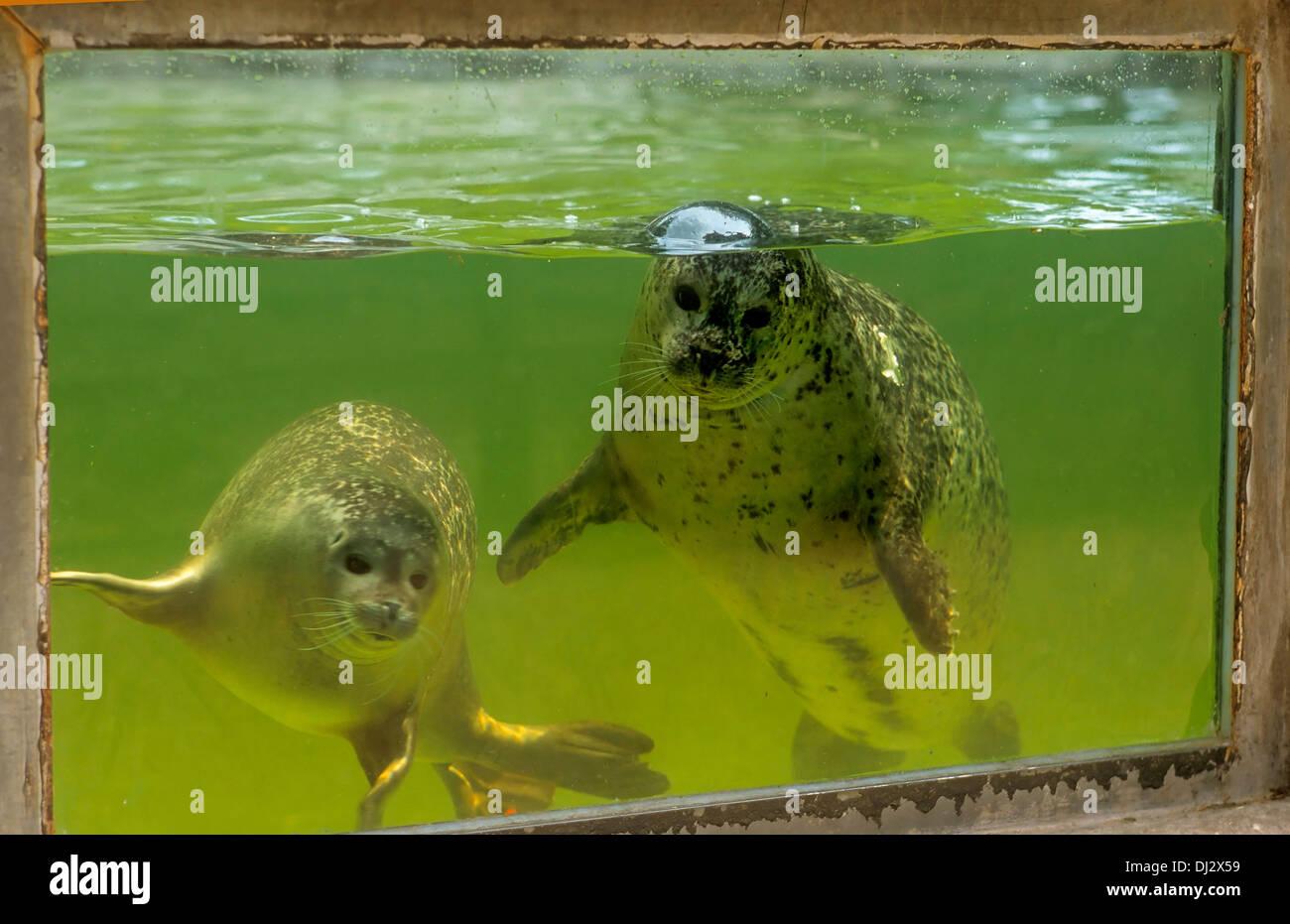 harbour seal (Phoca vitulina), common seal, Seehunde unter Wasser, Seehund (Phoca vitulina) - Stock Image