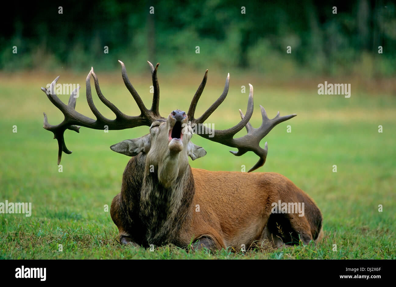 red deer (Cervus elaphus) the rutting season screaming,, Rothirsch (Cervus elaphus), Rothirsch zur Brunftzeit schreiend, - Stock Image