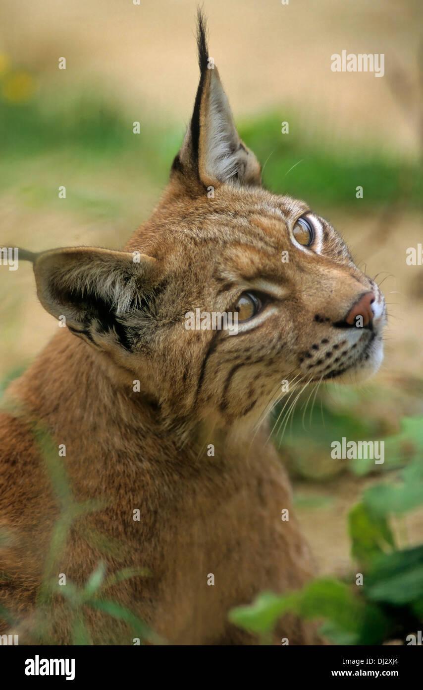 Eurasian lynx (Lynx lynx), Europäischer Luchs, Eurasischer Luchs (Lynx lynx) - Stock Image