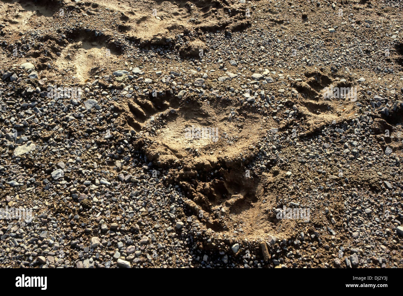 Footprint of the brown bear, brown bear (Ursus arctos), Fußspur des Braunbärs, Braunbär (Ursus arctos) Stock Photo