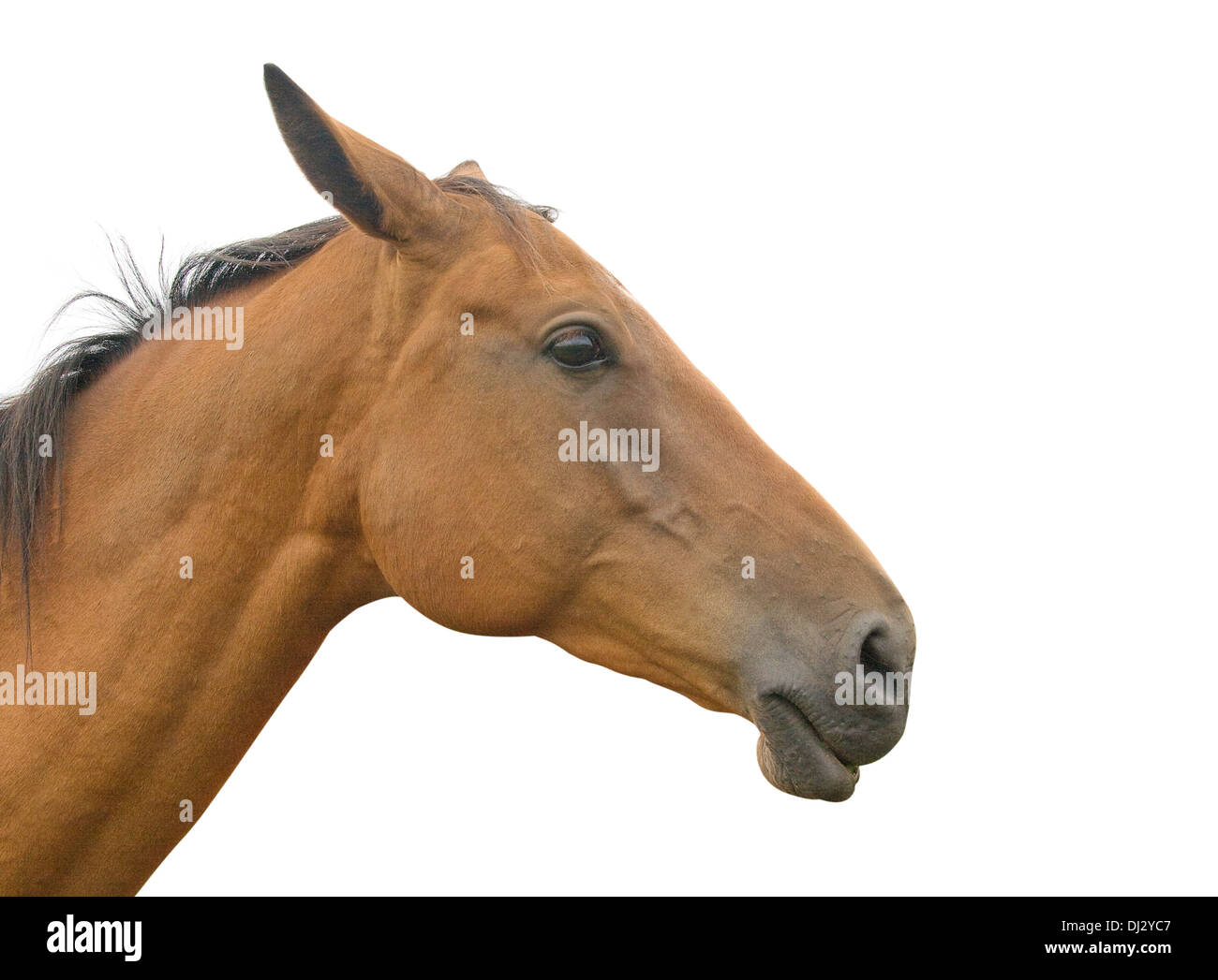 Profile of a horse's head and neck, isolated on white background Stock Photo