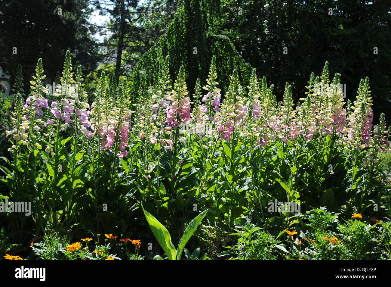Red foxgloves - Stock Image