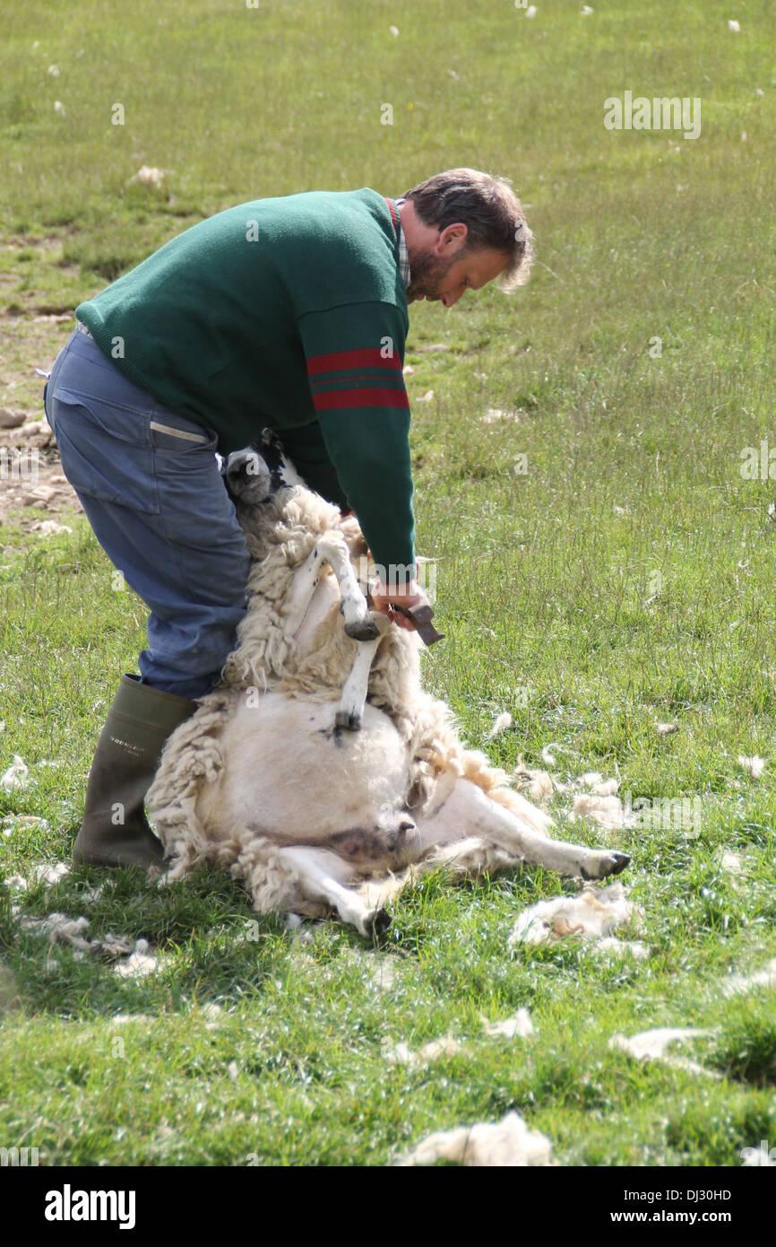 A Scottish sheep clipper - Stock Image