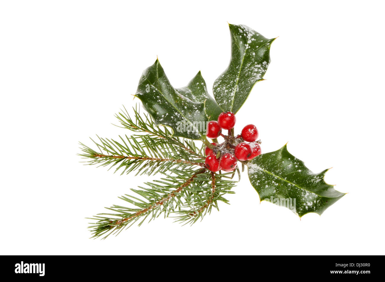 Snow dusted holly and pine needles isolated against white - Stock Image