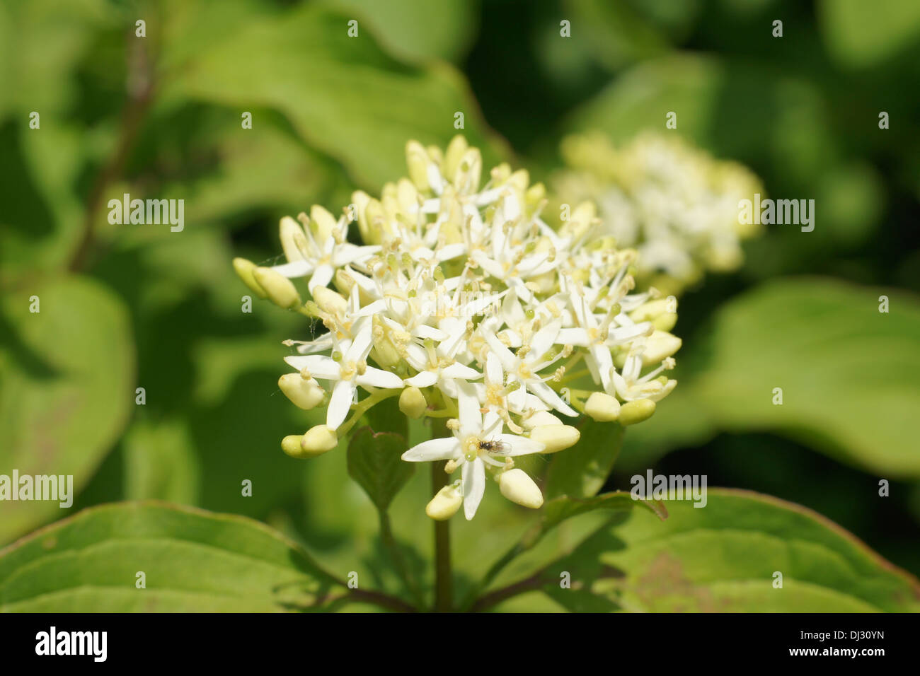 Dogwood Stock Photo