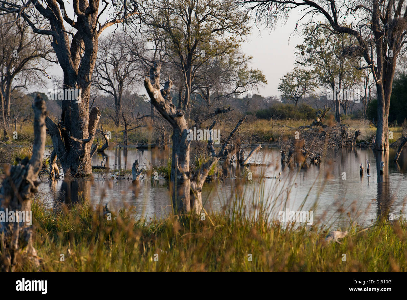 Landscape flooded at the time of llvuas in the Okavango Delta camp near Khwai River Lodge by Orient Express in Botswana. - Stock Image