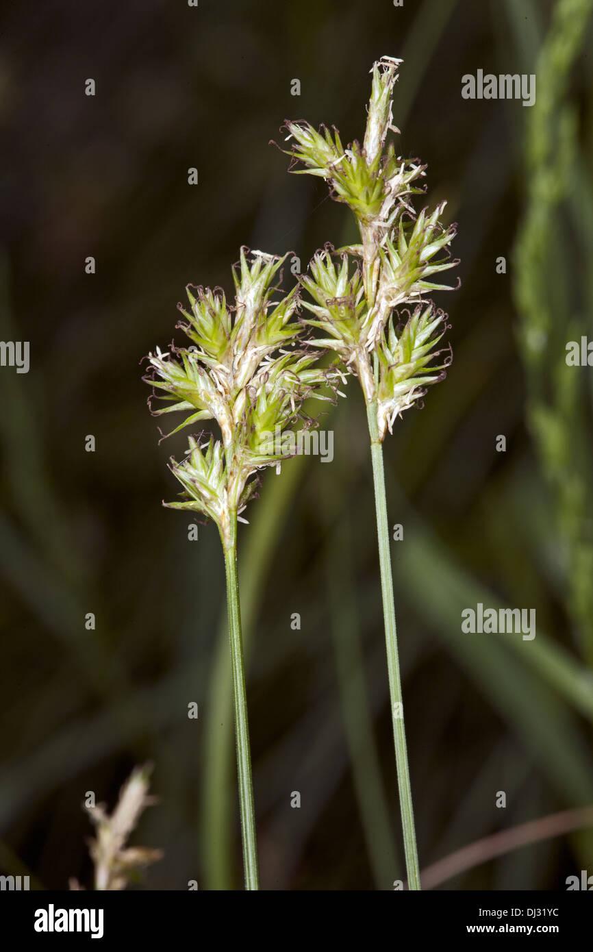 Alpine Grass, Carex brizoides - Stock Image