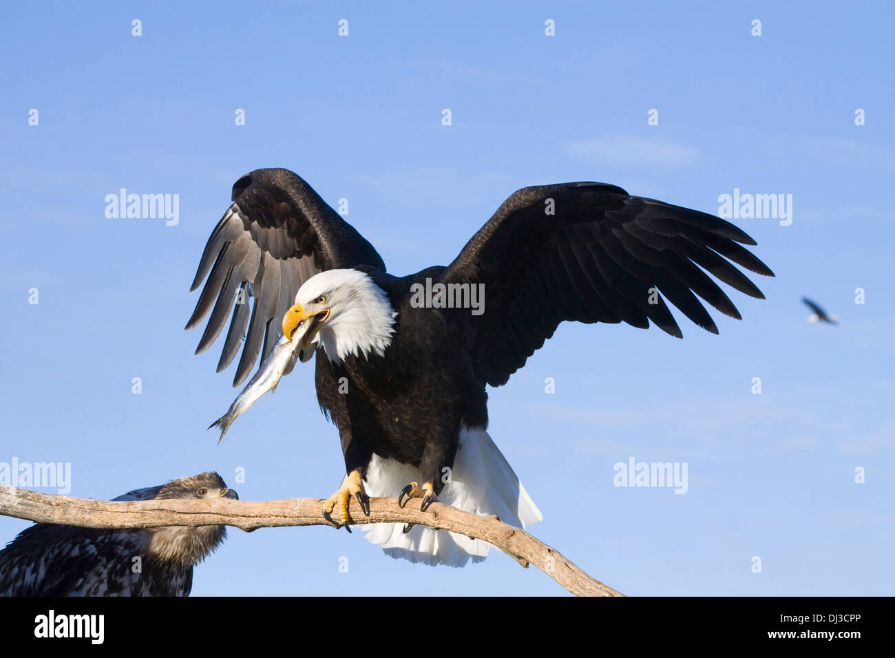 bald eagle perched on driftwood holding a fish in its beak near