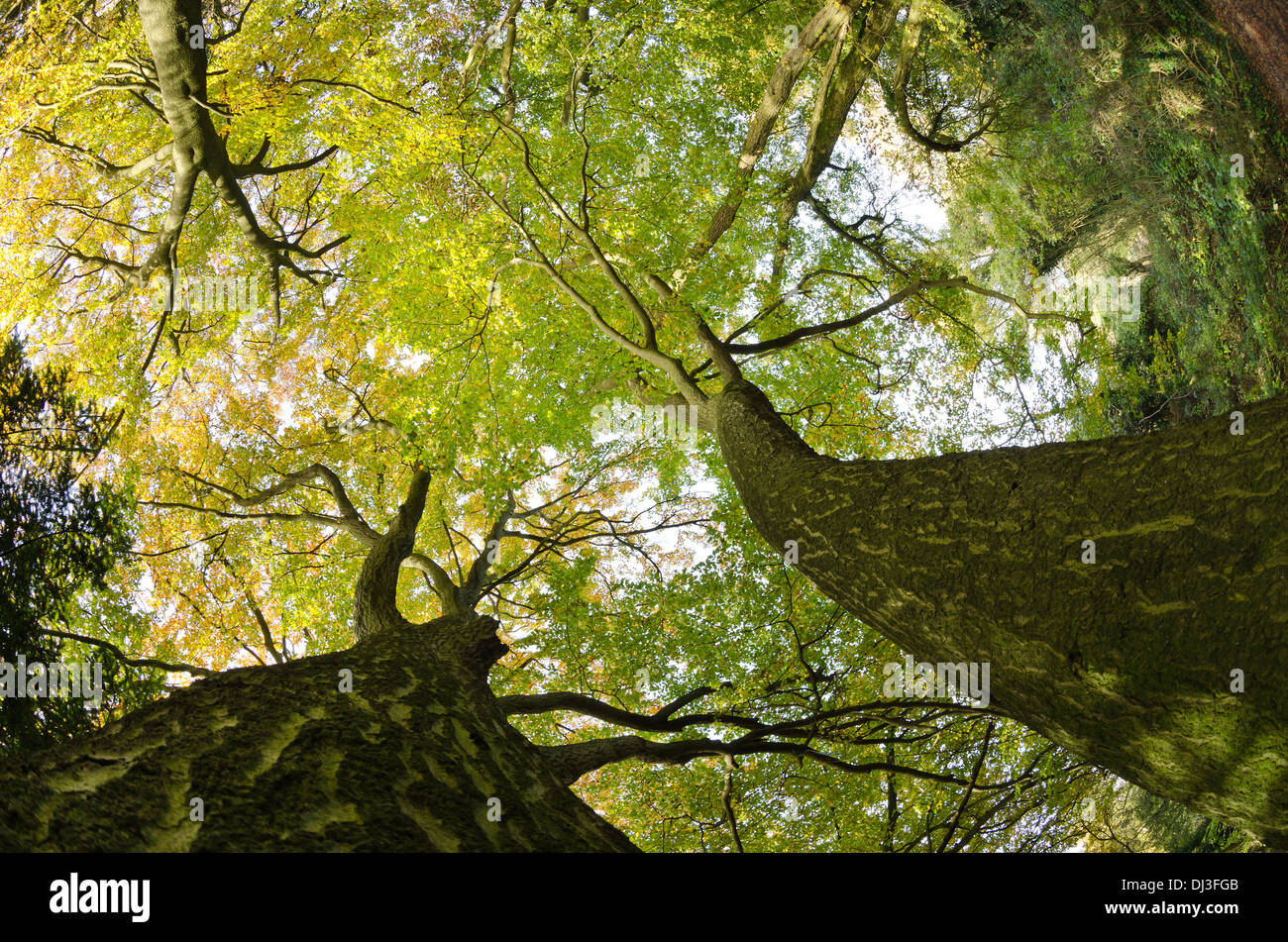 Thick well established tree canopy in protected ancient mature deciduous forest looking up skyward at autumn & Oak Trees Reaching Sky On Stock Photos u0026 Oak Trees Reaching Sky On ...
