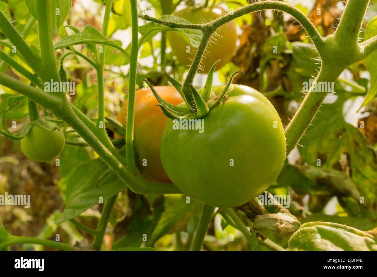 Green Marita 15 Tomato (Solanum lycopersicum) - Stock Image