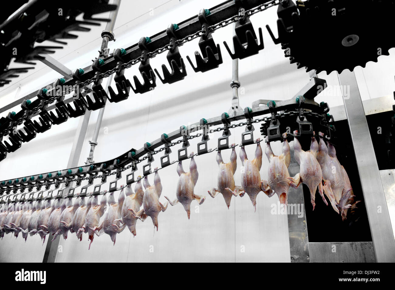 Food industry detail with poultry meat processing - Stock Image