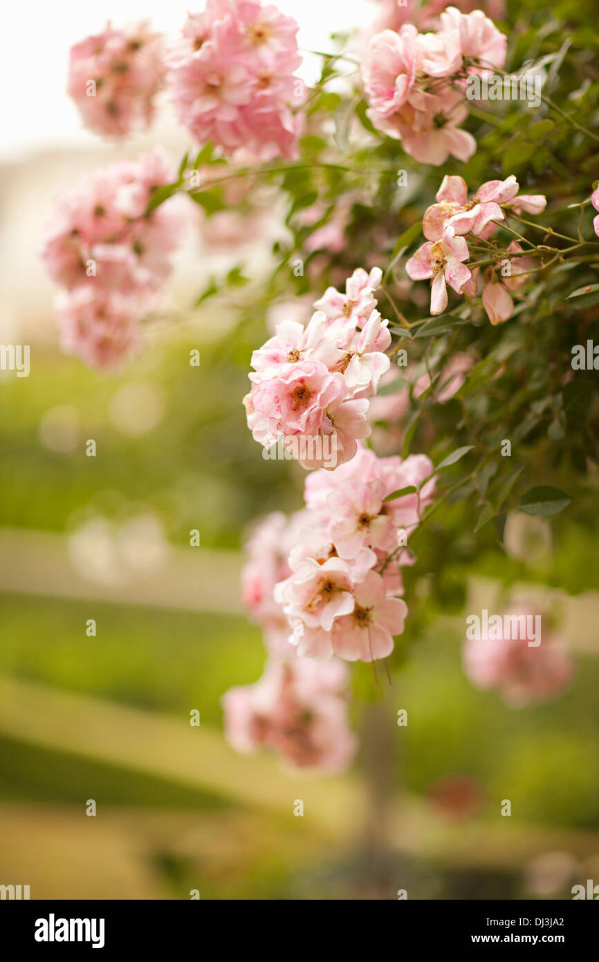 Close up of pink flowers growing on bush over fence - Stock Image