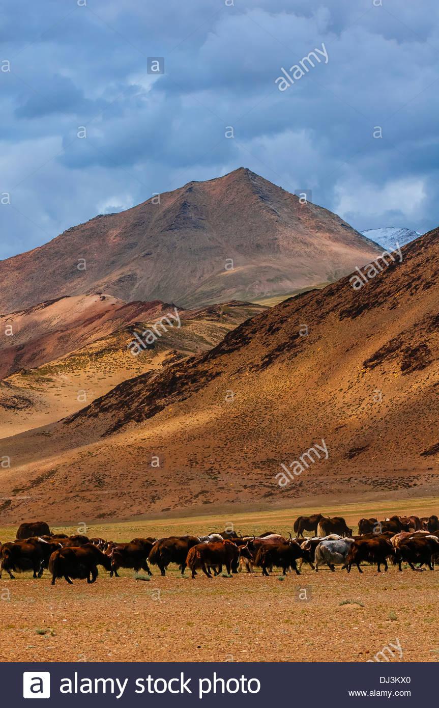 Nomadic yak herding, Himalayas, near Pang, Ladakh, Jammu and Kashmir State, India. - Stock Image