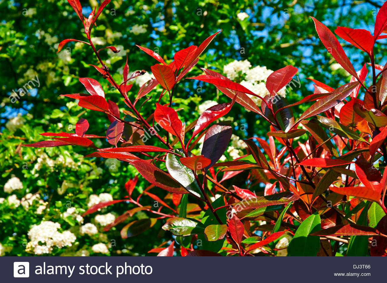 Photinia x fraseri 'Red Robin' against white blossom on a hawthorn tree - Stock Image