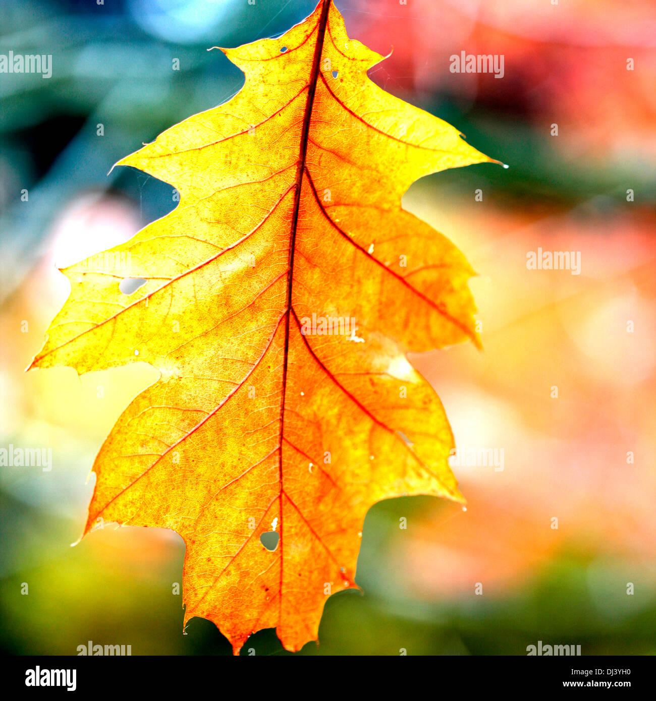 solitary autumn northern red oak leaf  Jane Ann Butler Photography  JABP935 - Stock Image