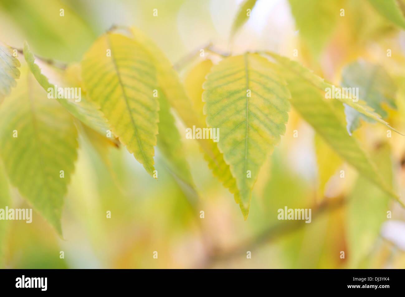 beautiful autumn colours of the zelkova serrata keyaki tree  Jane-Ann Butler Photography  JABP962 - Stock Image