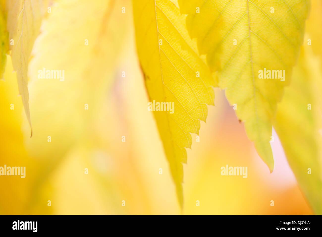 beautiful autumn colours of the zelkova serrata keyaki leaves  Jane-Ann Butler Photography  JABP960 - Stock Image