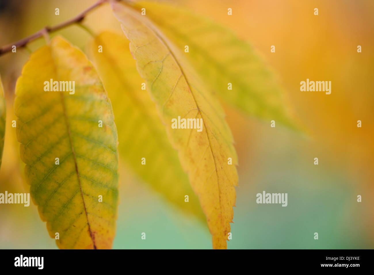 beautiful autumn colours of the zelkova serrata keyaki tree  Jane-Ann Butler Photography  JABP959 - Stock Image