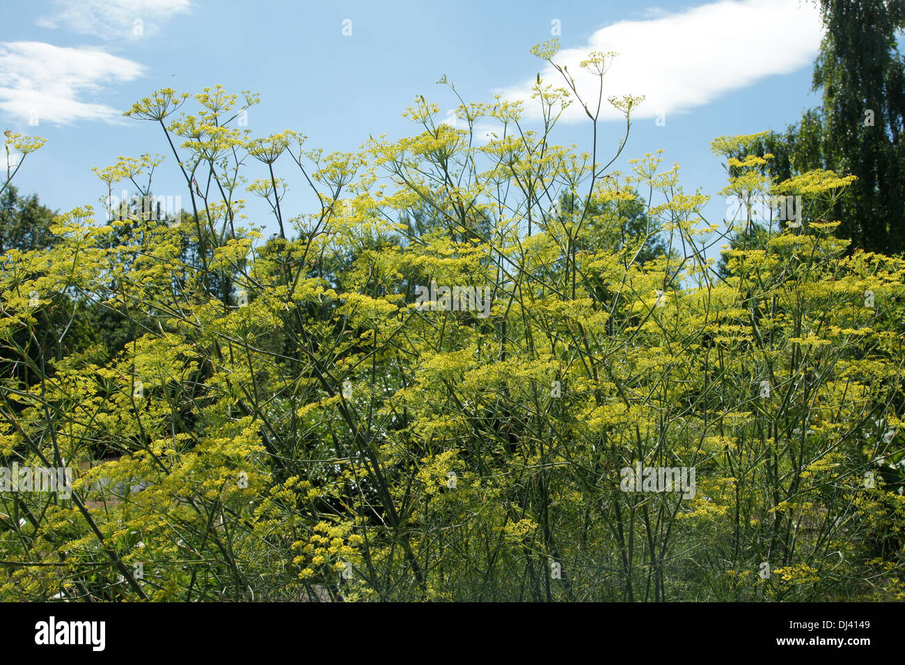 Foeniculum vulgare, Fenchel, fennel Stock Photo