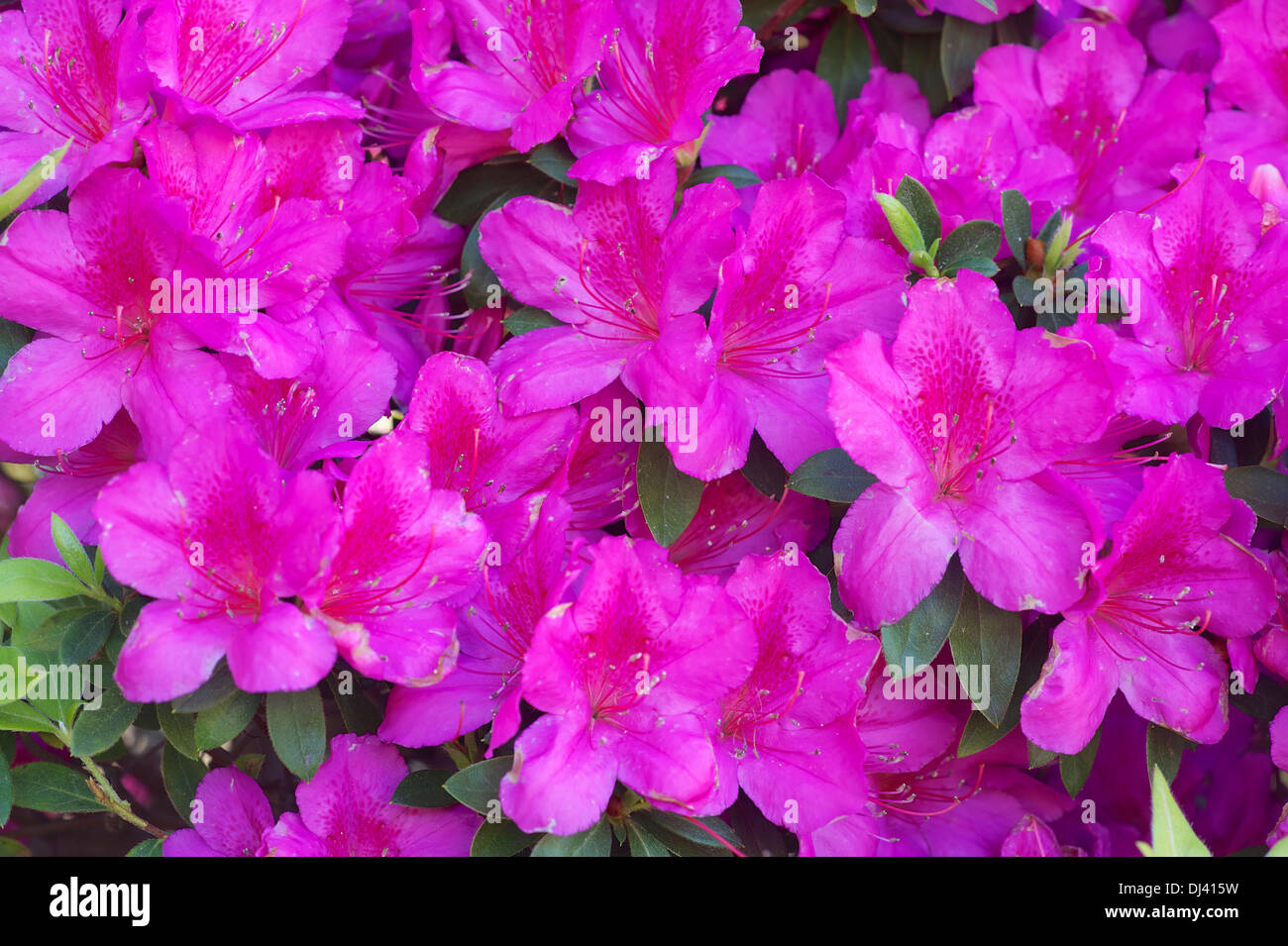Blooming azaleas - Stock Image